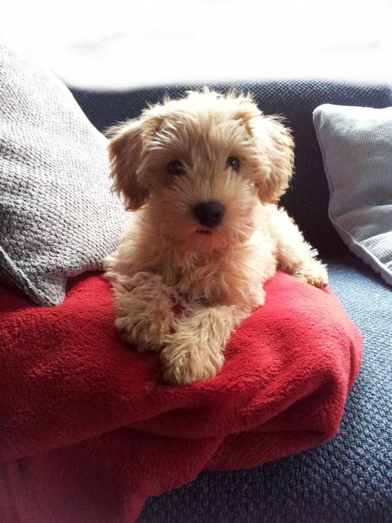 Schnoodle - Pudel Mix Hybrid